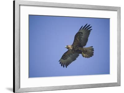Galapagos Hawk in Flight-DLILLC-Framed Photographic Print