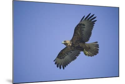 Galapagos Hawk in Flight-DLILLC-Mounted Photographic Print