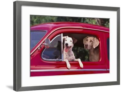 Jack Russel and Weimaraner Sitting in a Car-DLILLC-Framed Photographic Print