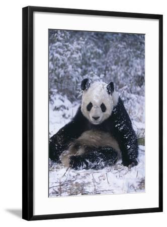 Giant Panda Sitting in Snow-DLILLC-Framed Photographic Print