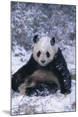 Giant Panda Sitting in Snow-DLILLC-Mounted Photographic Print