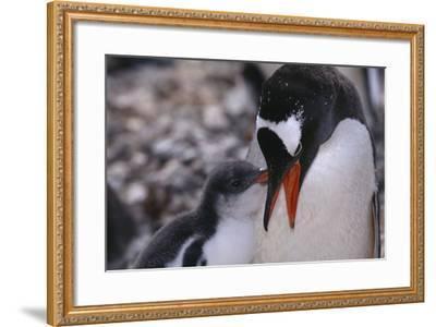 Gentoo Penguin Feeding Chick-DLILLC-Framed Photographic Print