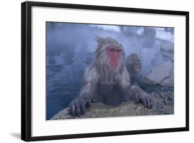 Japanese Macaques in Hot Spring-DLILLC-Framed Photographic Print