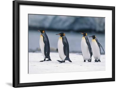 King Penguins Taking a Walk-DLILLC-Framed Photographic Print