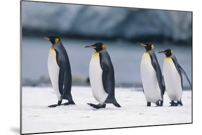 King Penguins Taking a Walk-DLILLC-Mounted Photographic Print