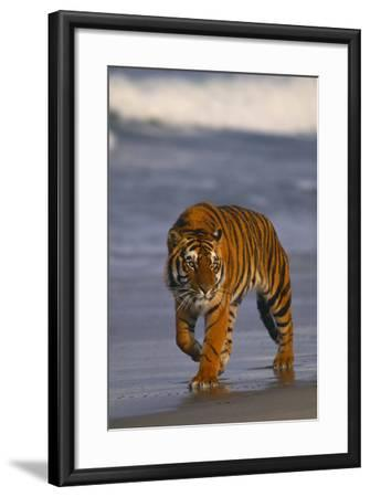 Bengal Tiger-DLILLC-Framed Photographic Print