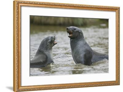Antarctic Fur Seals Playing in Shallow Water-DLILLC-Framed Photographic Print