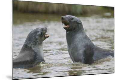 Antarctic Fur Seals Playing in Shallow Water-DLILLC-Mounted Photographic Print