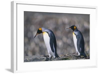King Penguins Walking on Rocks-DLILLC-Framed Photographic Print