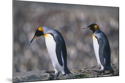 King Penguins Walking on Rocks-DLILLC-Mounted Photographic Print