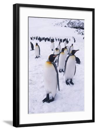King Penguins Walking in Snow-DLILLC-Framed Photographic Print