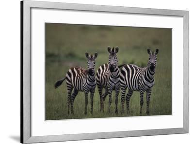Zebras-DLILLC-Framed Photographic Print