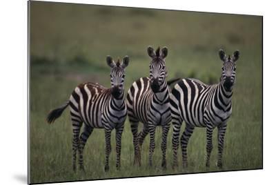 Zebras-DLILLC-Mounted Photographic Print