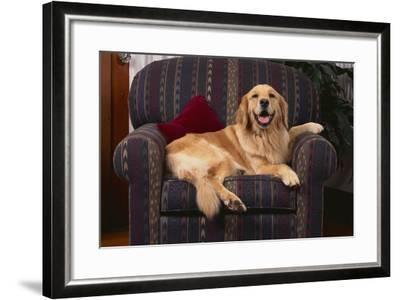 Golden Retriever Resting in Armchair-DLILLC-Framed Photographic Print