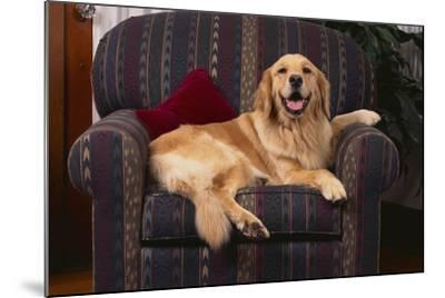 Golden Retriever Resting in Armchair-DLILLC-Mounted Photographic Print