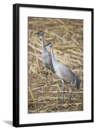 Sandhill Cranes-DLILLC-Framed Photographic Print