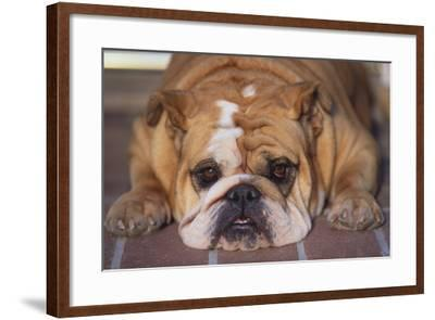 English Bulldog-DLILLC-Framed Photographic Print