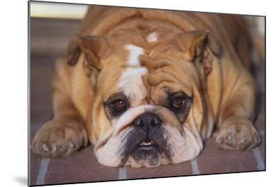 English Bulldog-DLILLC-Mounted Photographic Print