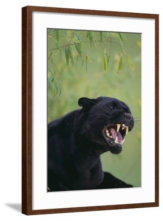 Black Leopard Snarling-DLILLC-Framed Photographic Print