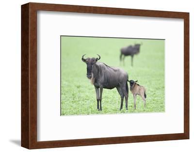 Wildebeest and Calf-DLILLC-Framed Photographic Print