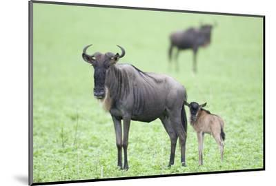 Wildebeest and Calf-DLILLC-Mounted Photographic Print