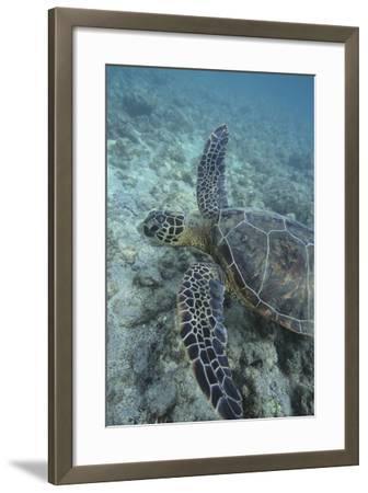 Green Sea Turtle Swimming-DLILLC-Framed Photographic Print
