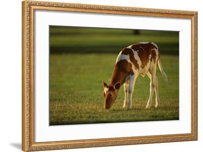 Grazing Holstein-Jersey Mix Calf-DLILLC-Framed Photographic Print