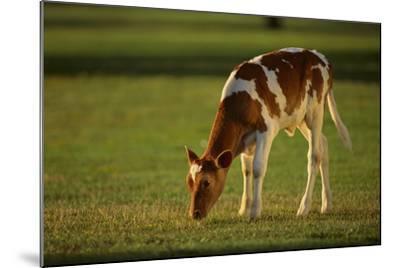 Grazing Holstein-Jersey Mix Calf-DLILLC-Mounted Photographic Print