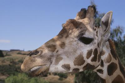 Curious Giraffe-DLILLC-Framed Photographic Print