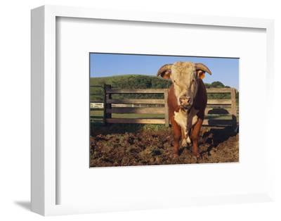 Hereford Bull-DLILLC-Framed Photographic Print