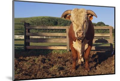 Hereford Bull-DLILLC-Mounted Photographic Print