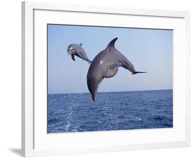 Dolphin Breaching the Oceans Surface-DLILLC-Framed Photographic Print