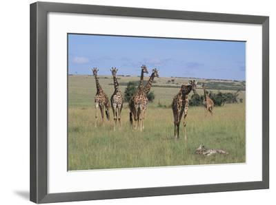 Giraffes Standing around an Injured Young Giraffe-DLILLC-Framed Photographic Print