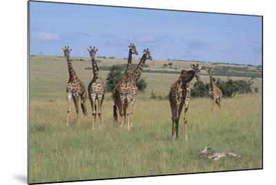 Giraffes Standing around an Injured Young Giraffe-DLILLC-Mounted Photographic Print