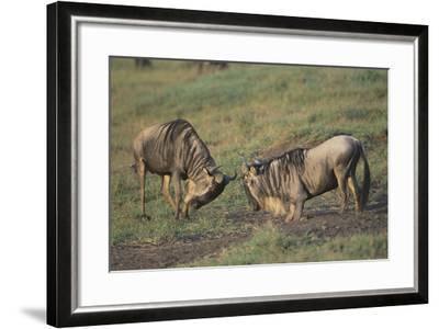 Blue Wildebeests Fighting-DLILLC-Framed Photographic Print