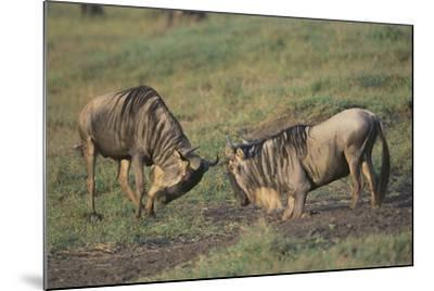 Blue Wildebeests Fighting-DLILLC-Mounted Photographic Print