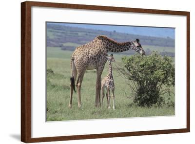 Parent and Young Giraffe-DLILLC-Framed Photographic Print