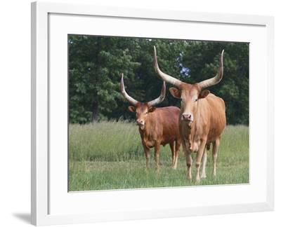 Cattle in the Pasture-DLILLC-Framed Photographic Print