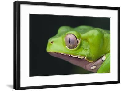 Monkey Tree Frog-DLILLC-Framed Photographic Print