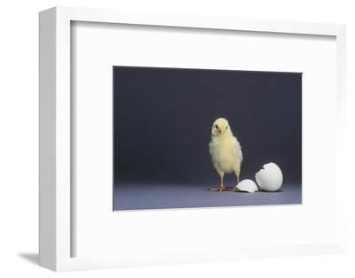 Leghorn Chick-DLILLC-Framed Photographic Print