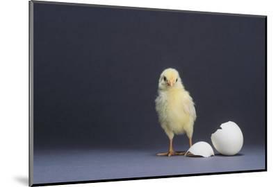 Leghorn Chick-DLILLC-Mounted Photographic Print