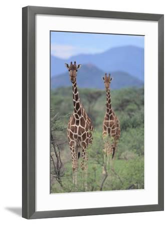 Two Giraffes Walking through the Bush-DLILLC-Framed Photographic Print
