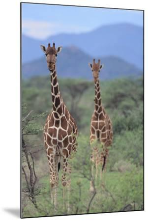 Two Giraffes Walking through the Bush-DLILLC-Mounted Photographic Print