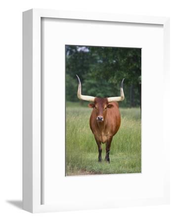 Longhorn Watusi Mix-DLILLC-Framed Photographic Print