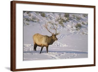 Elk-DLILLC-Framed Photographic Print