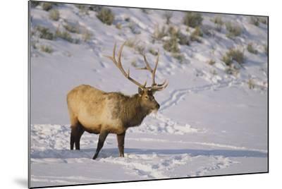Elk-DLILLC-Mounted Photographic Print
