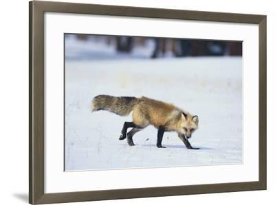 Red Fox-DLILLC-Framed Photographic Print