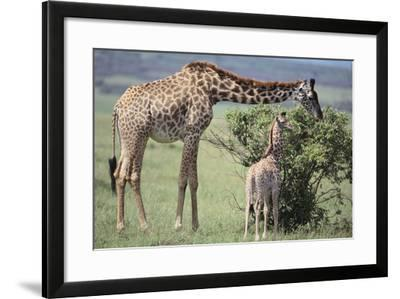 Giraffe and Young Eating a Bush-DLILLC-Framed Photographic Print