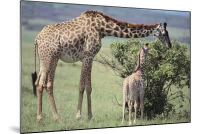 Giraffe and Young Eating a Bush-DLILLC-Mounted Photographic Print