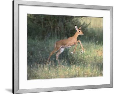 Young Impala-DLILLC-Framed Photographic Print